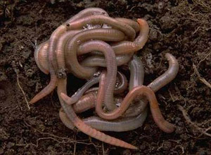 Common Earthworms - lumbricus terrestris